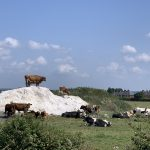 Cows discover cocaine with street value of over £500bn